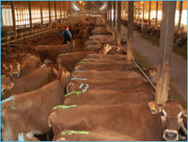 Heifers marked with Detect-Her